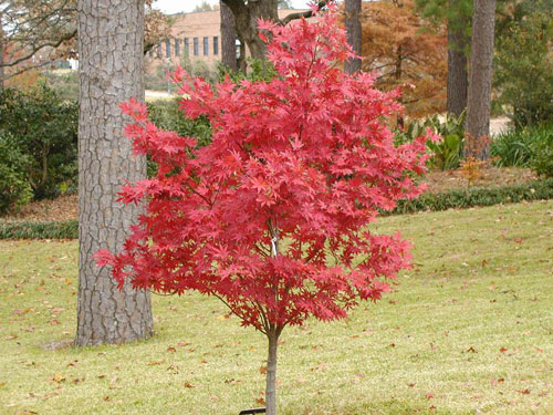 Acer palmatum acero giapponese for Acero giapponese