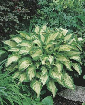 hosta fortunei (albopicta)