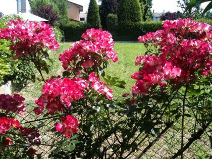 rose rampicanti 1
